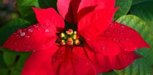 Flor de Nochebuena, una aportación más de México al mundo