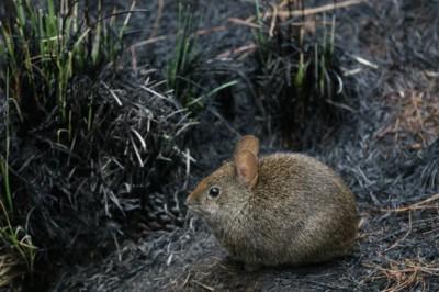 Conejo de los volcanes